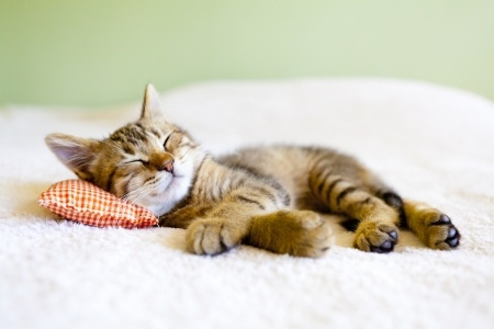 cat_sleeping_bed