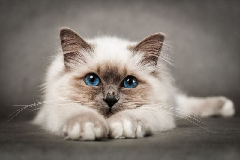 cute_cat blue eye